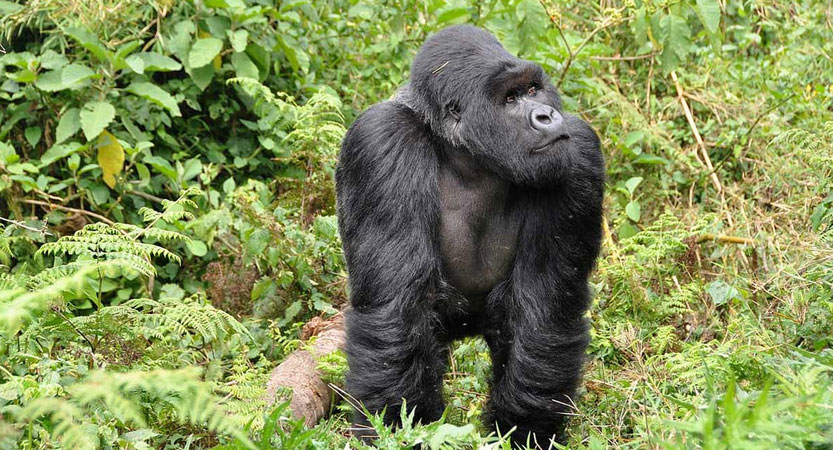 GORILLA TREKKING IN AFRICA: EVERYTHING YOU NEED TO KNOW