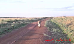 Catwalk in Masai Mara