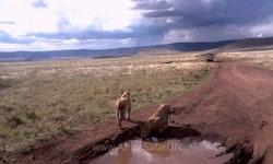 Africa Safari Ngorongoro Lions